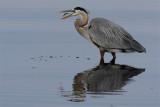 Grand heron-6.jpg