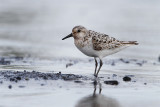Becasseau sanderling-1.jpg