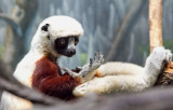 a sifaka 's contemplation