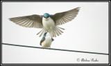 Mating Tree Swallows