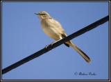 mockingbirdsthrashers