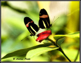 Crimson Patched Longwing