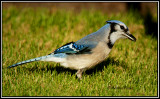 crows_jays