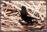 blackbirdsicteridae