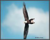 eaglesaccipitridae
