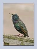 Starling - Sturnus vulgaris