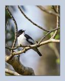 Pied Flycatcher - Ficedula hypoleuca