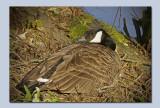 Canada Goose-Branta canadensis