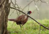 Ring necked Pheasant-Phasianus colchicus