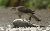 Sparrowhawk - Acipitor nisus