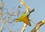 Rainbow Bee-eater, Merops ornatus