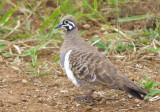 Squatter Pigeon - Geophaps scripta