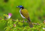 Blue-faced Honeyeater - Entomyzon cyanotis