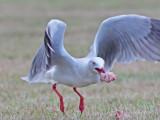 Silver Gull - Larus novaehollandiae
