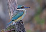 Sacred Kingfisher - Todiramphus sanctus