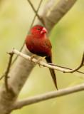 Crimson Finch -  Neochmia phaeton phaeton