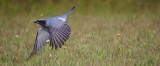 Black-faced Cuckoo-shrike Coracina novaehollandiae