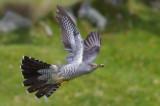 Cuckoo - Cuculus canorus 2
