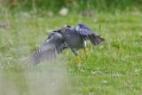 Cuckoo - Cuculus canorus 12