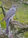 Cuckoo - Cuculus canorus 44