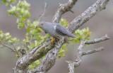 Cuckoo - Cuculus canorus 46