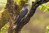 Cuckoo - Cuculus canorus 35