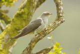 Cuckoo - Cuculus canorus 37