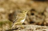 Willow Warbler- Phylloscopus trochilus