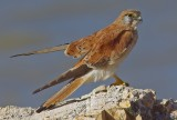 Nankeen Kestrel - Falco cenchroides