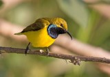 Olive-backed Sunbird, Cinnyris jugularis,
