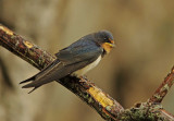 Swallow -  Hirundo rustuica