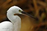 Little Egret -
