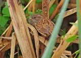 Dunnocks - Prunella modularis