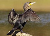Phalacrocorax carbo - (Great Cormorant)