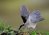 Marsh Tit -  Poecile palustris