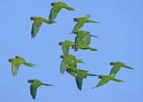 Aratinga erythrogenys - Red-masked Parakeet