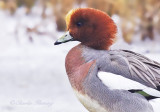 Widgeon - Anas penelope