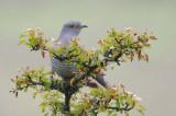 Cuckoo - Cuculus canorus 34
