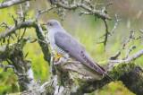 Cuckoo - Cuculus canorus 25