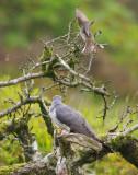 Cuckoo - Cuculus canorus 27