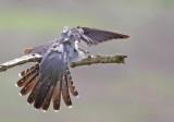 Cuckoo - Cuculus canorus 15