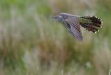 Cuckoo - Cuculus canorus 5