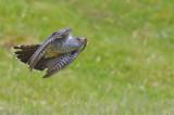 Cuckoo - Cuculus canorus 4