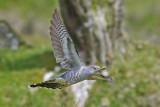 Cuckoo - Cuculus canorus 3
