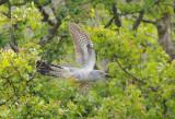 Cuckoo - Cuculus canorus 9