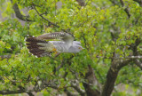 Cuckoo - Cuculus canorus 8