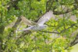 Cuckoo - Cuculus canorus 7