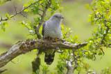 Cuckoo - Cuculus canorus 21
