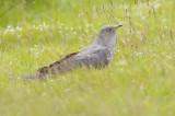 Cuckoo - Cuculus canorus 29