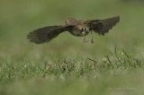 Robin - Erithracus rubicula